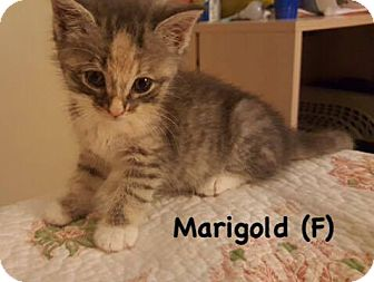 Domestic Shorthair Kitten for adoption in West Orange, New Jersey - Marigold