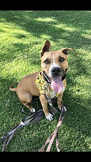American Pit Bull Terrier Mix Dog for adoption in Willows, California - ZED