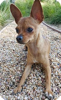 Chihuahua Mix Dog for adoption in La Habra Heights, California - Toby