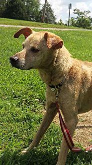 Labrador Retriever/Labrador Retriever Mix Dog for adoption in Sparta, Kentucky - Maya