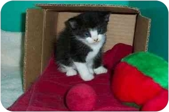 Domestic Shorthair Kitten for adoption in Secaucus, New Jersey - Violet