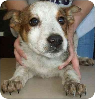 Australian Cattle Dog/Border Collie Mix Puppy for adoption in North Judson, Indiana - Raleigh