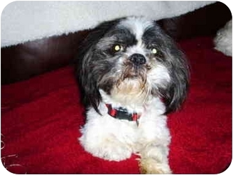 Shih Tzu Mix Dog for adoption in Calgary, Alberta - Skipper