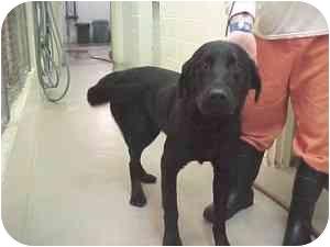 Labrador Retriever Dog for adoption in Gladwin, Michigan - Black Lab