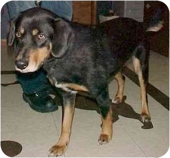 Black and Tan Coonhound/Beagle Mix Dog for adoption in North Judson, Indiana - Hoover