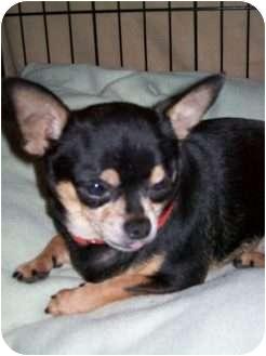 Chihuahua Mix Dog for adoption in Edmond, Oklahoma - Jiffy