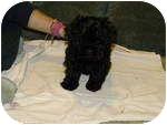 Shih Tzu/Poodle (Miniature) Mix Puppy for adoption in Algonquin, Illinois - Farrah