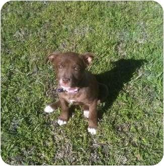 Chesapeake Bay Retriever Mix Puppy for adoption in White Settlement, Texas - Scrappy -  Adoption Pending
