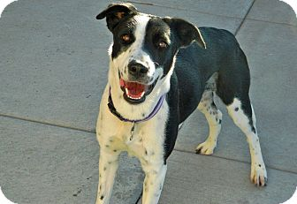 Border Collie Mix Dog for adoption in Cheyenne, Wyoming - Penny