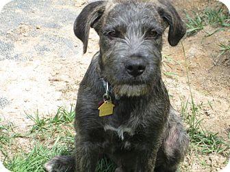 Terrier (Unknown Type, Medium) Mix Puppy for adoption in Jesup, Georgia - Fritz