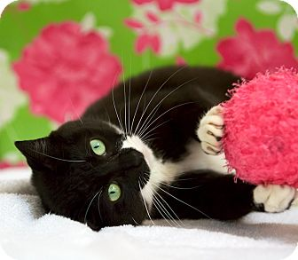 Domestic Shorthair Cat for adoption in Houston, Texas - Kanga