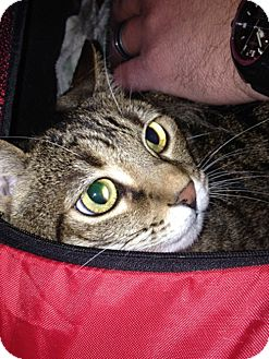 Domestic Shorthair Cat for adoption in Laguna Woods, California - Tiger Lily
