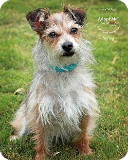 Yorkie, Yorkshire Terrier/Chihuahua Mix Dog for adoption in Phoenix, Arizona - Spring