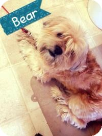 Shih Tzu Mix Dog for adoption in Voorhees, New Jersey - Bear