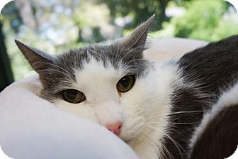 Domestic Shorthair Cat for adoption in Houston, Texas - Dusty