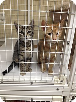 Domestic Shorthair Kitten for adoption in East Meadow, New York - Stanley