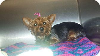 Yorkie, Yorkshire Terrier Dog for adoption in Oak Ridge, New Jersey - Gemma
