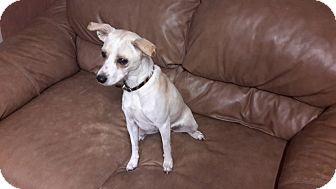 Italian Greyhound/Chihuahua Mix Dog for adoption in Meridian, Idaho - Sophia