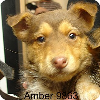 Airedale Terrier Mix Puppy for adoption in Greencastle, North Carolina - Amber
