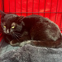 Domestic Shorthair Cat for adoption in Mount Pleasant, South Carolina - Midnight
