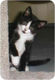 Domestic Shorthair Kitten for adoption in Portland, Oregon - Bailey