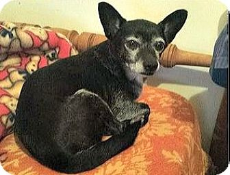 Chihuahua Dog for adoption in Wallingford Area, Connecticut - Benson Honeycutt