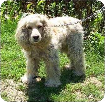 Cocker Spaniel Dog for adoption in Overland Park, Kansas - Amanda