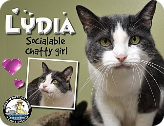 Domestic Shorthair Cat for adoption in Davenport, Iowa - Lydia