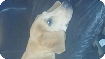 Labrador Retriever Mix Puppy for adoption in Boonsboro, Maryland - Copper