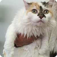 Domestic Longhair Cat for adoption in Harrisonburg, Virginia - Emma