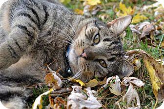Domestic Shorthair Cat for adoption in Harrisonburg, Virginia - Todd