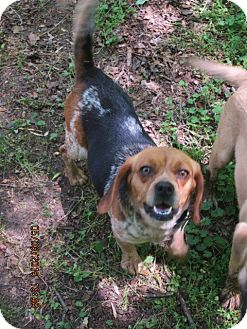 Beagle Dog for adoption in Oswego, New York - SPECK