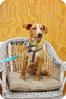Hound (Unknown Type)/Retriever (Unknown Type) Mix Dog for adoption in Fort Atkinson, Wisconsin - Mack