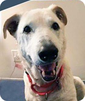 Labrador Retriever Mix Dog for adoption in Irvine, California - Bear