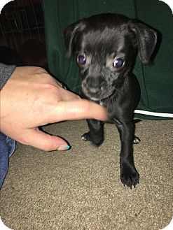 Chihuahua Mix Puppy for adoption in Garner, North Carolina - Aurora