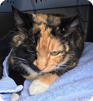 Calico Cat for adoption in Enka, North Carolina - Tinker
