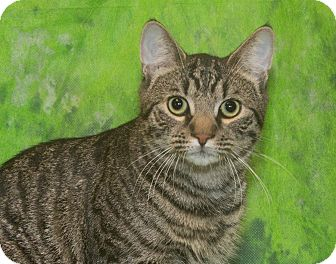 Domestic Shorthair Cat for adoption in Elmwood Park, New Jersey - Biscuit