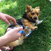 Adopt A Pet :: Yogi Bear, survived hell. - Corona, CA