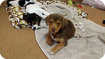 Beagle Mix Puppy for adoption in Norwalk, Connecticut - Gabby