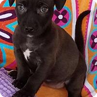 Adopt A Pet :: Cora - Scottsboro, AL