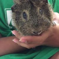 Adopt A Pet :: Squishy - bonded pair - Arlington, VA