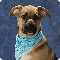 Shepherd (Unknown Type) Mix Puppy for adoption in Vancouver, British Columbia - Bear