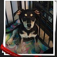Adopt A Pet :: Snickers - Apache Junction, AZ