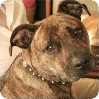American Staffordshire Terrier Mix Dog for adoption in Berkeley, California - Gomer