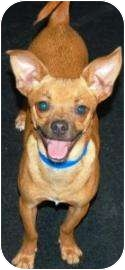 Chihuahua Mix Dog for adoption in Houston, Texas - Bo