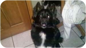 Border Collie/Chow Chow Mix Dog for adoption in Oak Lawn, Illinois - Bear