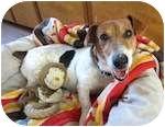 Hound (Unknown Type)/Jack Russell Terrier Mix Dog for adoption in Palmyra, Virginia - Arnold