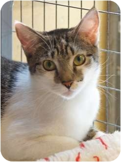 Domestic Shorthair Cat for adoption in Houston, Texas - Daisy