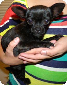 Chihuahua/Pug Mix Puppy for adoption in Corona, California - SNUGGLE