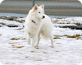 Husky/Shepherd (Unknown Type) Mix Dog for adoption in Meridian, Idaho - Faith